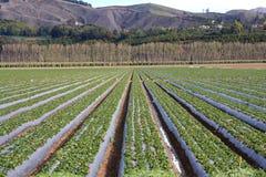 Strawberry Fields für immer Lizenzfreies Stockfoto