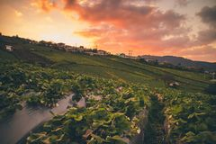 Strawberry fields/farm in evening sunset. At Phu Thap Boek, Phechabun province, Thailand royalty free stock photography