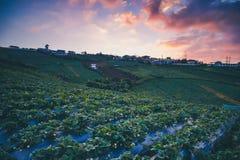 Strawberry fields/farm in evening sunset. At Phu Thap Boek, Phechabun province, Thailand royalty free stock photo