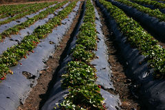Strawberry fields forever. Rows of strawberry plants partially covered with a protective layer of plastic sheeting stock photos