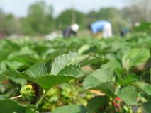 Strawberry Fields Forever. Strawberry pickers at work in the field shallow DOF royalty free stock image