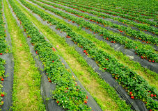 Strawberry fields. Full of ripe strawberry, very tempting royalty free stock photo
