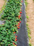 Strawberry fields. Full of ripe strawberry, very tempting royalty free stock photos