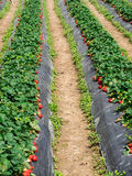 Strawberry fields Stock Image