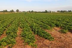 Strawberry fields. Great strawberry fields in Poland stock photography