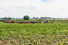 Strawberry fields. Great strawberry fields in Poland royalty free stock photo