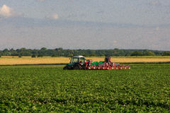 Strawberry fields. Great strawberry fields in Poland stock photo
