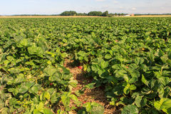 Strawberry fields. Great strawberry fields in Poland royalty free stock photography