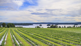 Strawberry fields. By the laken stock photos