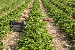 Strawberry fields in Lithuania. Strawberry fields forever. Delicious berries royalty free stock photos