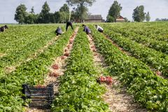 Strawberry fields in Lithuania. Strawberry fields forever. Delicious berries royalty free stock images