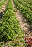 Strawberry fields in Lithuania. Strawberry fields forever. Delicious berries royalty free stock image