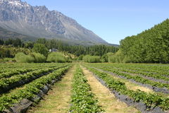 Strawberry Fields in Patagonia Royalty Free Stock Photo