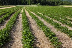 Strawberry fields ready for picking Royalty Free Stock Photo