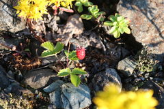Strawberry Fields. Red ripe strawberries in the meadow Stock Image