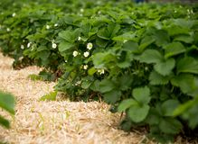 The strawberry fields. Shot in Denmark royalty free stock photography