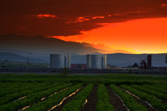 Strawberry fields sunset Stock Images