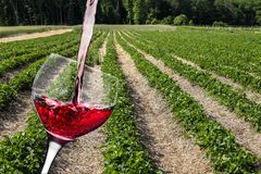 Strawberry fields with wine glass. Strawberry fields with wine pouring wine glass stock photography
