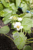 Strawberry flower royalty free stock photography