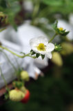 Strawberry Flower Stock Photos