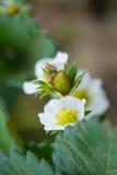 Strawberry flower Royalty Free Stock Photo