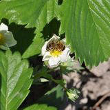 Strawberry flower with bee. Picture of young strawberry flowers with bee Stock Images