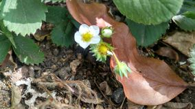 Strawberry flower bud stock photo