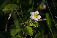 Strawberry flower in direct sunlight in the early morning. Small, beautiful, tender strawberry flower in direct sunlight in the early morning stock photos