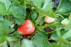 Strawberry flower in farm Stock Images
