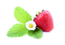 Strawberry with a flower and foliage. Stock Photography