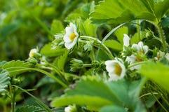 Strawberry flower Stock Photo