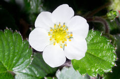 Strawberry flower Royalty Free Stock Images