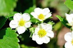 Strawberry flower. Royalty Free Stock Photos