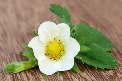 Strawberry flower with leaves Royalty Free Stock Image