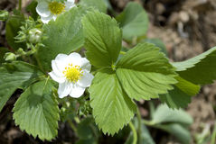 Strawberry flower and leavs Stock Photos