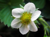 Strawberry flower stock photography