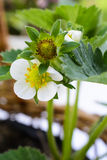 Strawberry flower macro Royalty Free Stock Photo