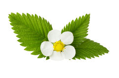 Strawberry flower on white background Royalty Free Stock Photography