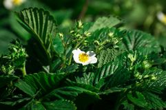 Strawberry flower. White strawberry flower in the spring garden Stock Photo