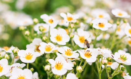Strawberry flowers Stock Images