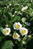Strawberry flowers. Flowers of a strawberry on the sun Stock Photography