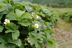 Strawberry Flowers. Flowers of a strawberry plant stock images
