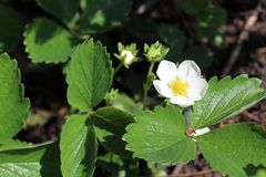 Strawberry flowers. Blooming strawberries. Beautiful white strawberry flowers in green grass stock photos
