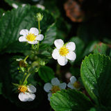 Strawberry flowers Stock Photography