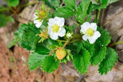 Strawberry flowers in a garden Stock Photography