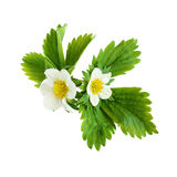 Strawberry flowers Stock Photo