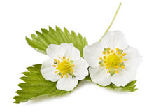 Strawberry flowers Royalty Free Stock Photography
