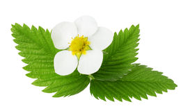 Strawberry flowers and leaves isolated on the white background Royalty Free Stock Images