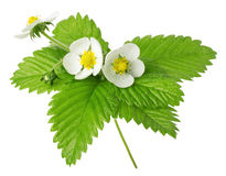 Strawberry flowers and leaves isolated on the white background Stock Photography