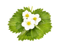 Strawberry flowers and leaves Royalty Free Stock Images